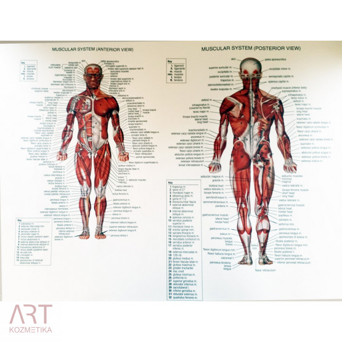 prikaz mišic